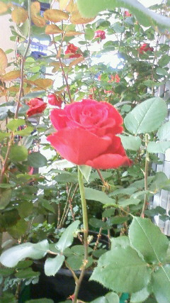 ベルサイユのバラ(アップ)