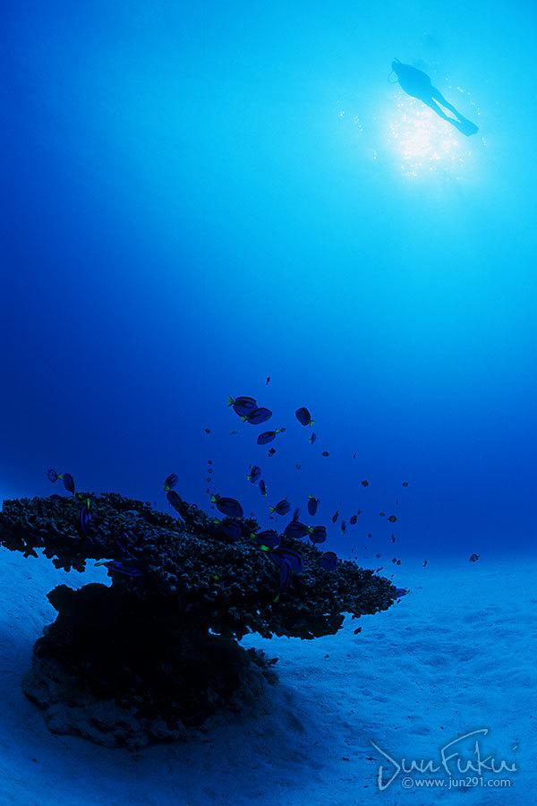 一本サンゴ