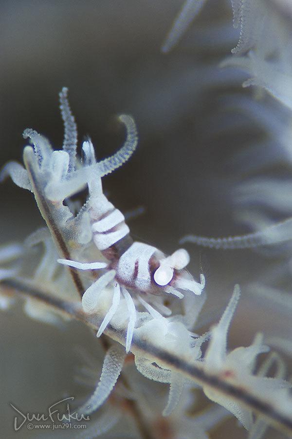 ムチカラマツエビ
