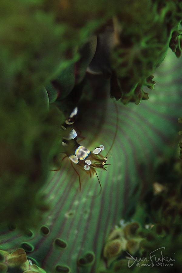 イソギンチャクモエビ