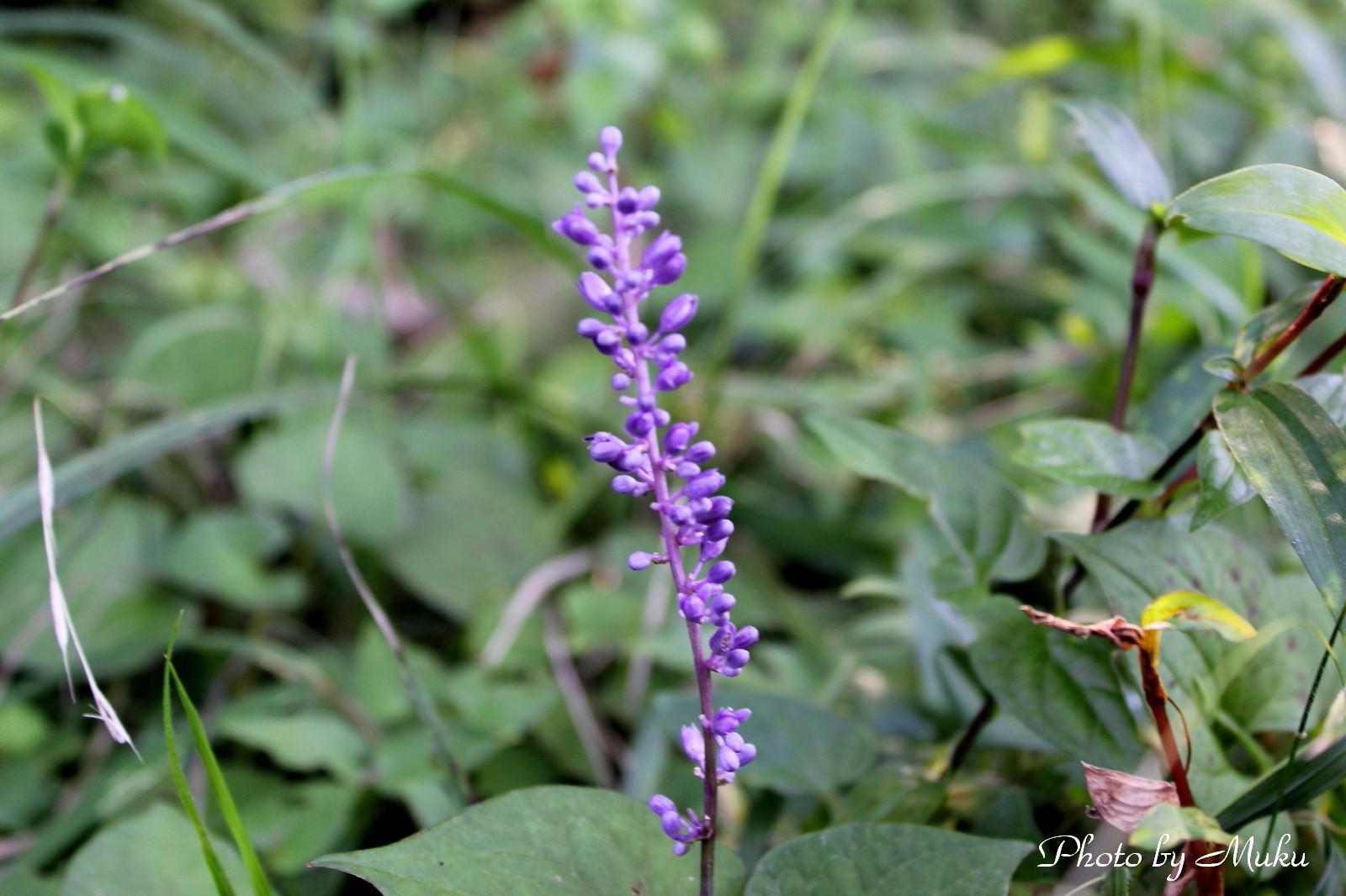 2014.9.14 ヤブラン (菜園:神奈川県横須賀市)