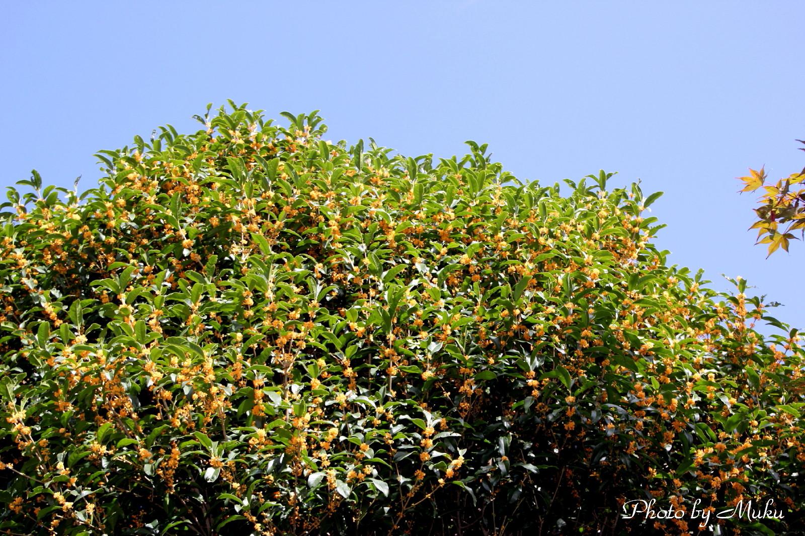 2014.9.28 金木犀 (浦賀:神奈川県横須賀市)