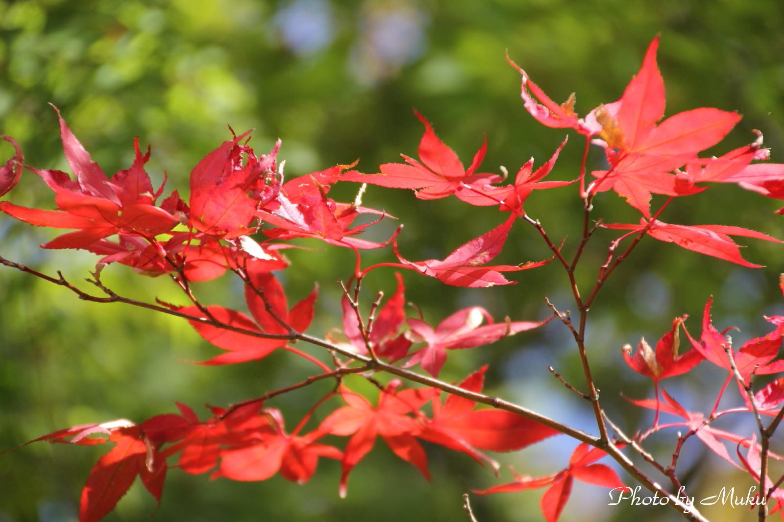 2014.10.19 楓紅葉 (湿性花園:神奈川県下足柄郡箱根町)