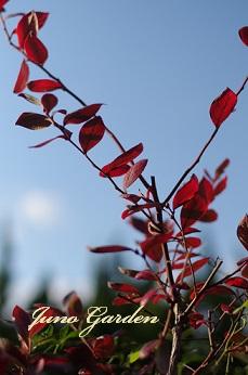 紅葉ブルーベリー