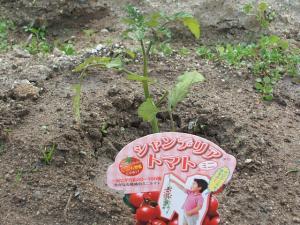 シャンデリアトマト