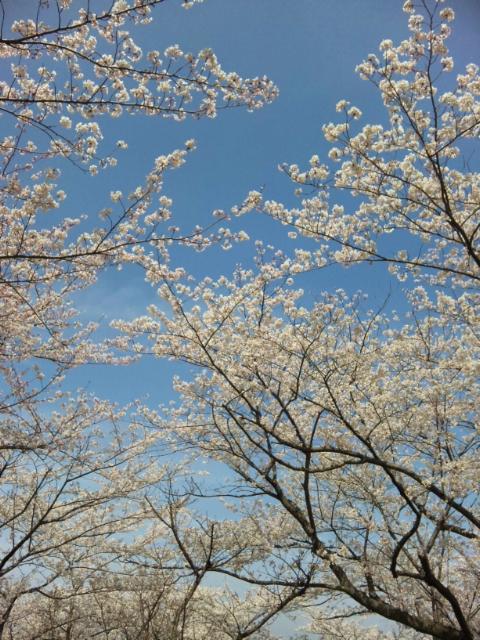 安針台桜3