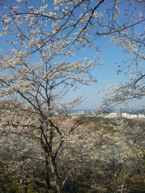 安針台桜1