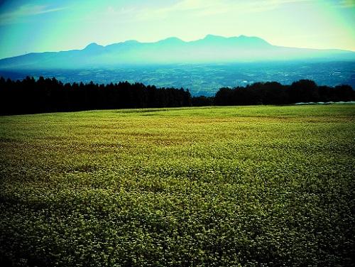 行幸田のそば畑 後方赤城山