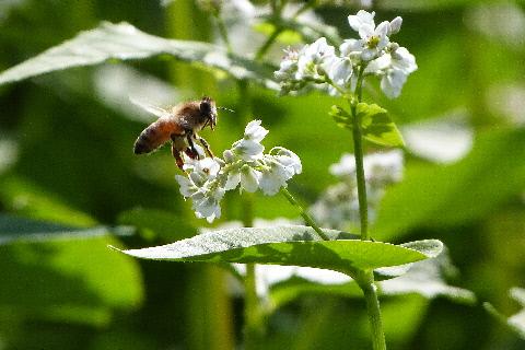 そばの花に飛び交うミツバチ