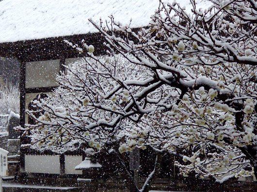 円覚寺選仏場と黄梅-20120229