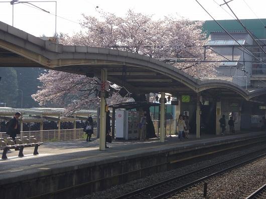 相模原駅の桜1-20120406