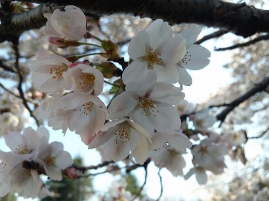 相模原駅の桜3-20120407