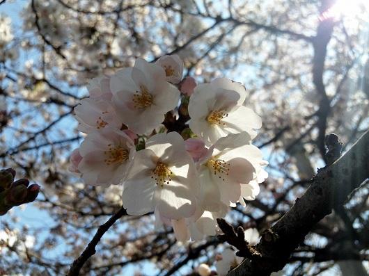 相模原駅の桜4-20120407
