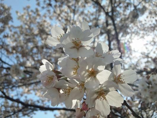 相模原駅の桜5-20120407