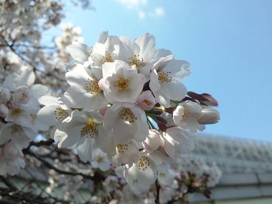 相模原駅の桜6-20120407