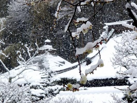 東慶寺黄梅20120229