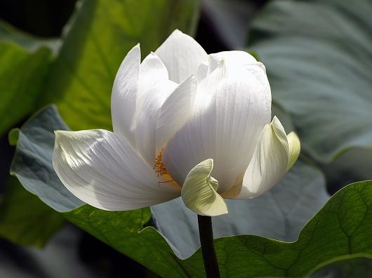 鶴岡八幡宮のハス20120708