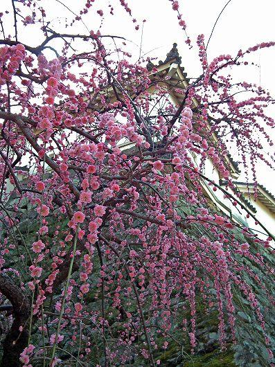 高知城枝垂桜1-20120303