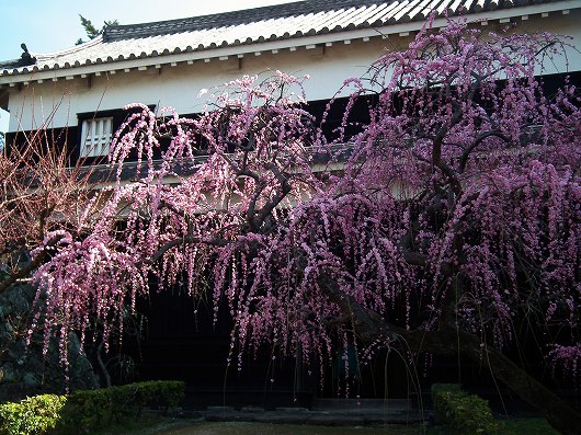 高知城枝垂桜2-20120303