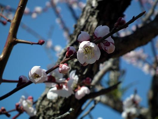 高知城の梅2-20120303