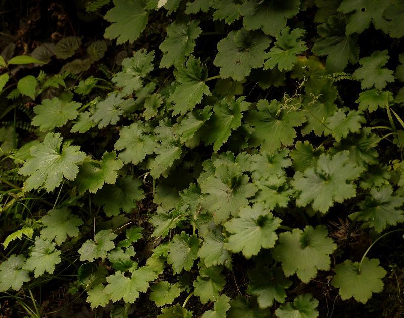 ジンジソウの葉