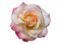 薔薇2 109のコピー