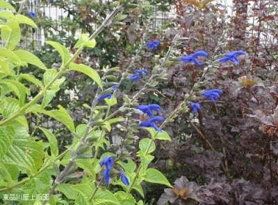 blue majesty1