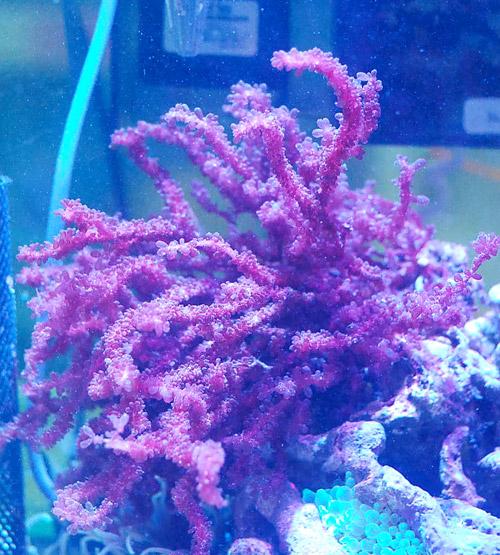 ウミブドウ レッド 海藻sp