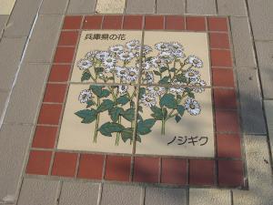 兵庫県ノジギク