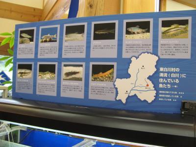東白川村の魚たち