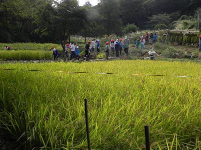 西久保田んぼの稲刈り