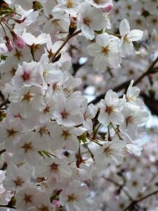 02桜満開