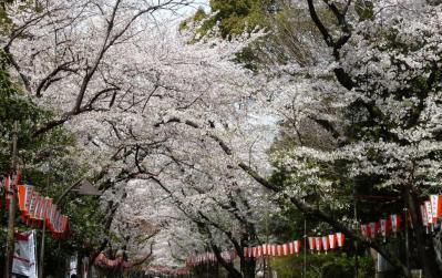 03上野桜