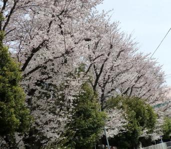 02近所の桜