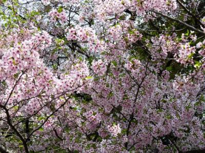 03桜満開