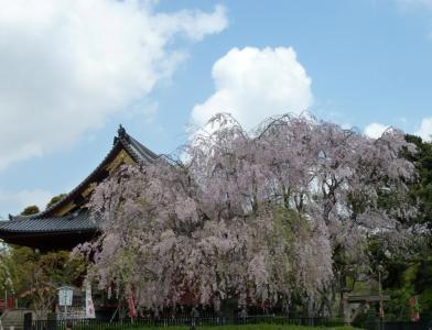 01上野桜