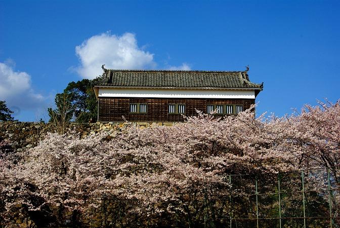亀山城さくら