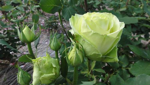 rose2939