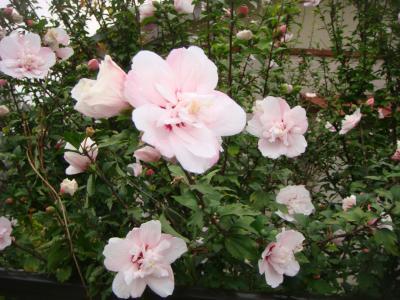 夏の花 001