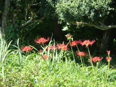 野に咲く彼岸花
