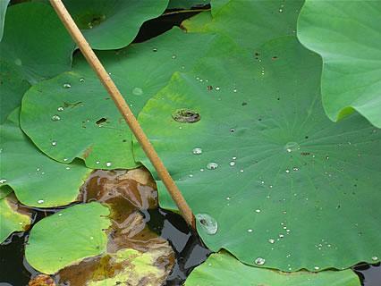 猿賀神社 鏡ヶ池 蓮の葉