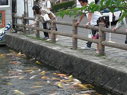 猿賀神社 見晴ヶ池の鯉