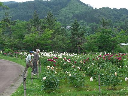 道の駅「虹の湖公園」 芍薬-4