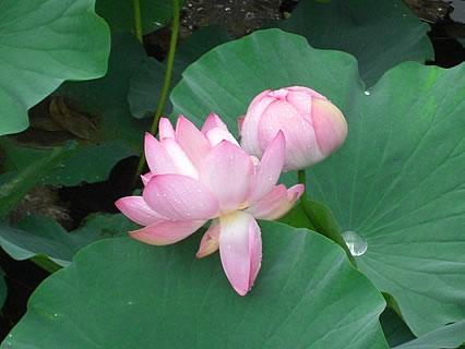 猿賀公園 北限に観る蓮の花まつり 鏡ヶ池(蓮の花-2)