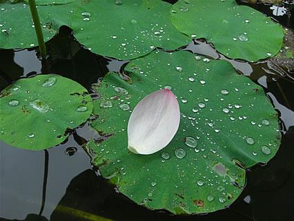猿賀公園 北限に観る蓮の花まつり 鏡ヶ池(蓮の花びら)
