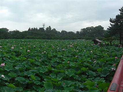 猿賀公園 北限に観る蓮の花まつり 鏡ヶ池