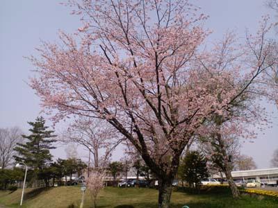 H24プリンスランド桜