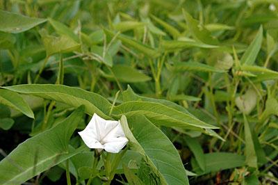 クウシンサイの花