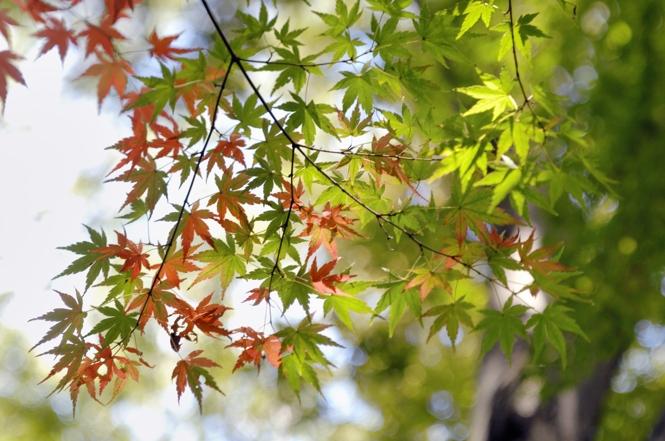 砧緑地の紅葉