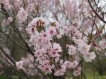 桜熊谷 小彼岸系